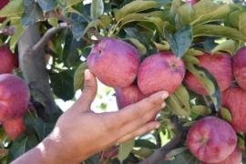 Geyve Elması